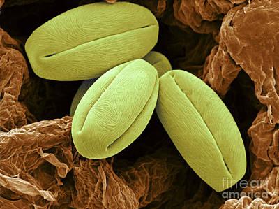 Pyrus Communis Photograph - Pear Pollen Grains, Sem by Scimat