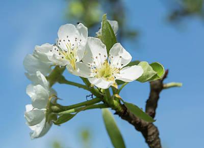 Pyrus Communis Photograph -  Pear Pyrus Communis Blossoms by Paul Fearn