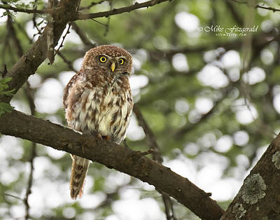 Photograph - Pear-spotted Owlet by Mike Fitzgerald