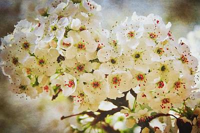 Photograph - Pear Tree Blossoms   by Flying Z Photography by Zayne Diamond