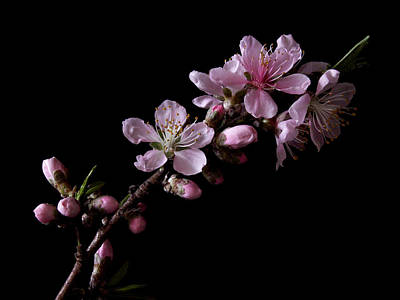 Photograph - Peach Tree Blossum by Nancy Griswold