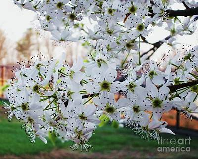 Photograph - Pear Tree by Donna Dixon