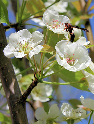 Photograph - Pear Tree Pollination by Kristin Elmquist