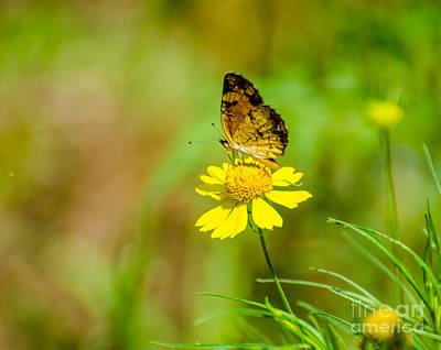 Photograph - Pearl Crescent Butterfly by Donna Brown
