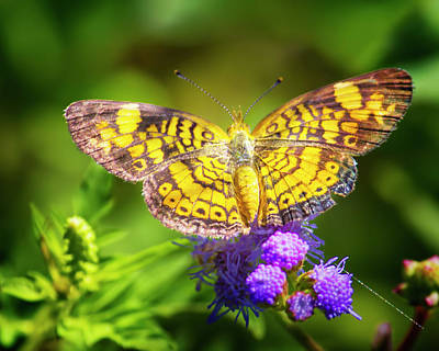 Pearl Crescent Photograph - Pearl Crescent Butterfly by Mark Andrew Thomas