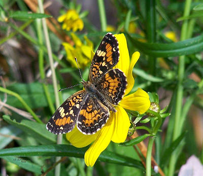 Photograph - Pearl Crescent Butterfly - Phyciodes Tharos by rd Erickson