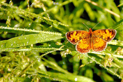 Butterfly Photograph - Pearl Crescent Butterfly Wisconsin by Laura Pineda