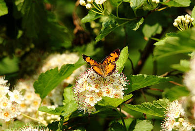 Photograph - Pearl Crescent by Debbie Oppermann