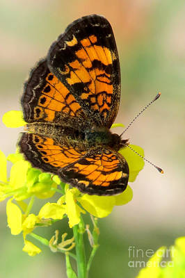 Photograph - Pearl Crescent by Frank Townsley