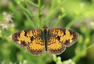 Photograph - Pearl Crescent by Jim Zablotny