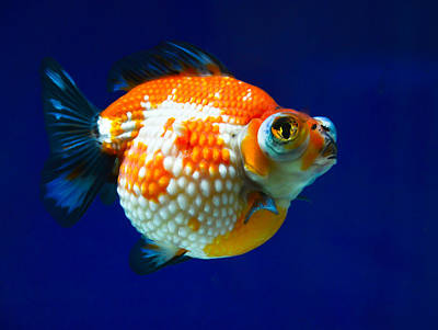 Photograph - Pearl Scale Goldfish by Chua  ChinLeng