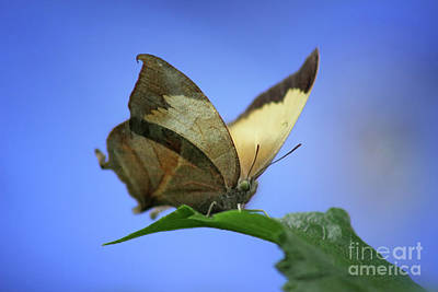Photograph - Pearly Leafwing Butterfly by Karen Adams
