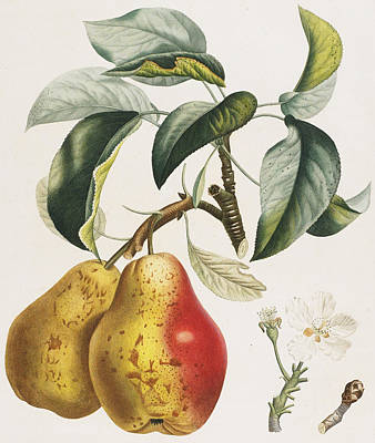 Nature Study Drawing - Pears by Pierre Antoine Poiteau