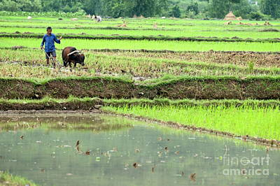 Peasant Harvesting A Rice Paddy With A Buffalo In Yangshuo Art Print