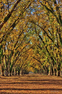 Photograph - Pecan Canopy Pecan Pie Orchard  Art by Reid Callaway
