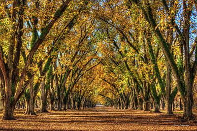 Photograph - Pecan Pie Heaven Pecan Tree Canopy Art by Reid Callaway