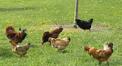 Winery Photograph - Pecking Order by Janis Beauchamp