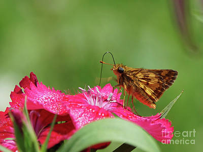 Photograph - Peck's Skipper Butterfly On Pinks Flower by Robert E Alter Reflections of Infinity