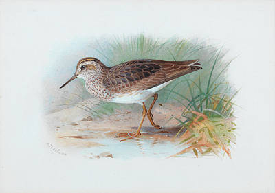 Sandpiper Wall Art - Painting - Pectoral Sandpiper by Archibald Thorburn