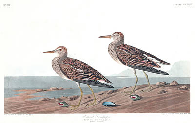 Sandpiper Wall Art - Painting - Pectoral Sandpiper by John James Audubon