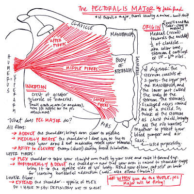 Drawing - Pectoralis Major by Julie Read