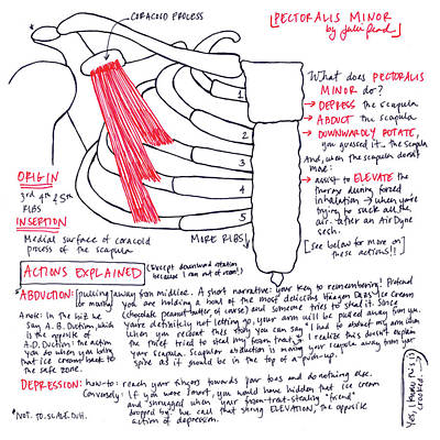Drawing - Pectoralis Minor by Julie Read