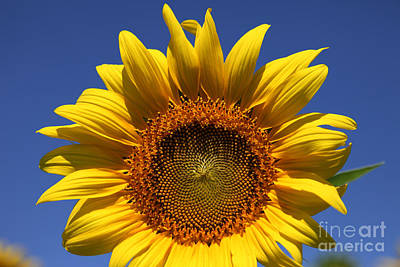 Sunflowers Royalty-Free and Rights-Managed Images - Peek a boo by Amanda Barcon