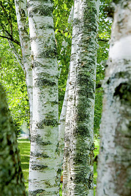 Peek A Boo Birch Art Print by Greg Fortier