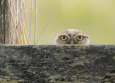 Photograph - Peek A Boo Burrowing Owl by Angie Vogel