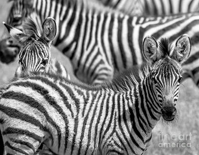Photograph - Peek A Boo Zebra by Chris Scroggins