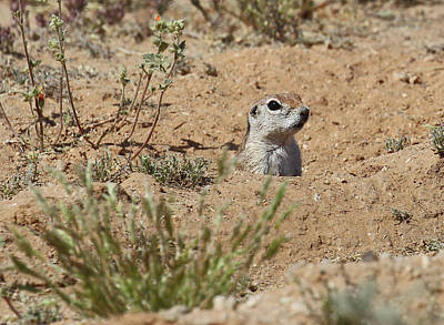 Round-tailed Ground Squirrel Photograph - Peek-a-boo by Christina Boggs