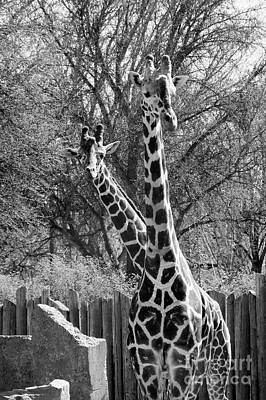 Photograph - Peek A Boo Giraffe  by Cathie Richardson
