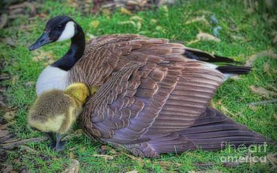 Photograph - Peek-a-boo Goslings by Elizabeth Winter