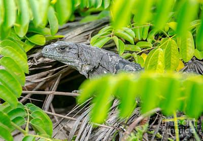 Photograph - Peek A Boo Iguana by Cheryl Baxter