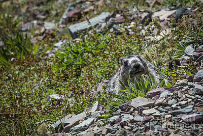 Photograph - Peek A Boo Marmot by Jemmy Archer