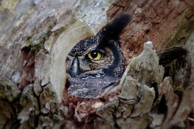 Photograph - Peek A Boo Owl by Craig Strand