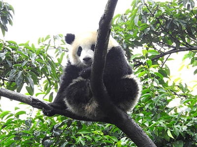 Photograph - Peek A Boo Panda by Betty-Anne McDonald