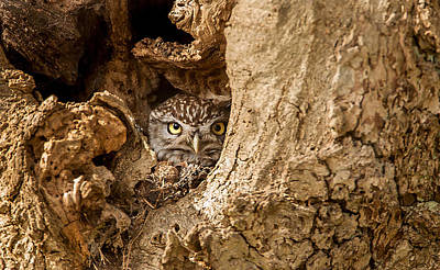 Little Owl Photograph - Peek A Boo by Paul Neville