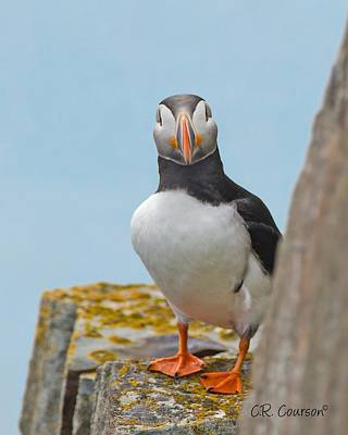 Photograph - Peek-a-boo Puffin by CR Courson