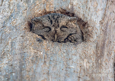Photograph - Peek A Boo Screech Owl by Cheryl Baxter
