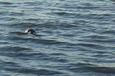 Photograph - Peek A Boo Seal by Karen Molenaar Terrell