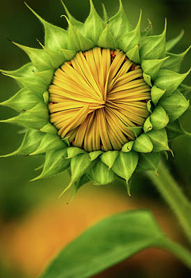 Photograph - Peek-a-boo Sunflower by Carolyn Derstine