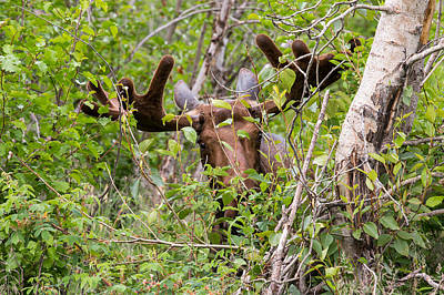 Photograph - Peek-a-moose by Sara Hudock