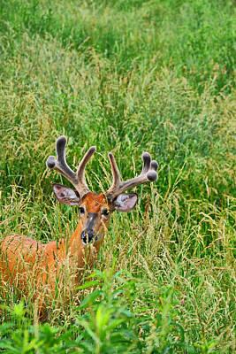 Bucks In Velvet Photograph - Peek by Emily Stauring