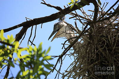 Photograph - Peekaboo Mama Heron In Nest by Carol Groenen