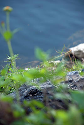 Photograph - Peeking Alligator by Gabriel Diaz