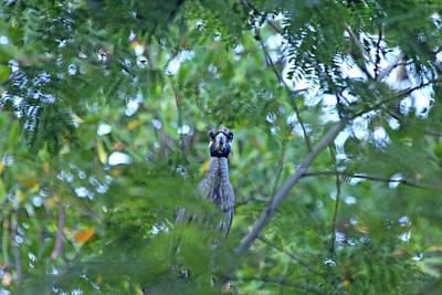 Photograph - Peeking Night Heron by Debbie Oppermann