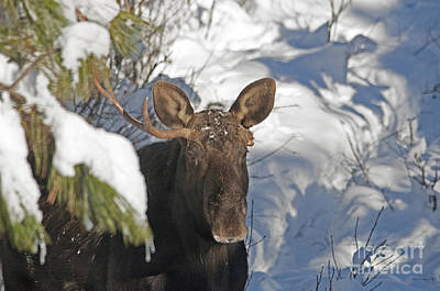 Photograph - Peeking Out Moose by Cindy Murphy - NightVisions