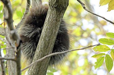 Photograph - Peeking Porcupine by Debbie Oppermann