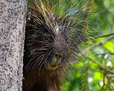 Photograph - Peeking Porcupine by KJ Swan